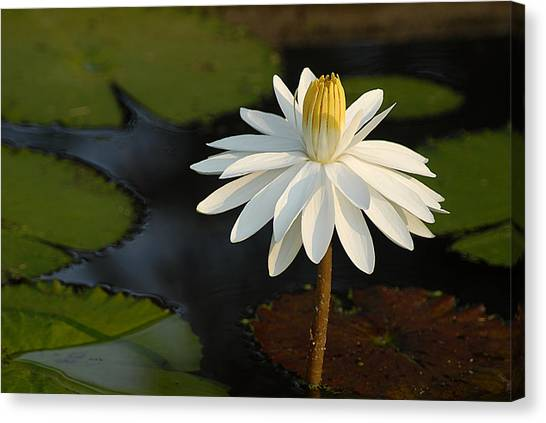 Stand Tall Lily Canvas Print