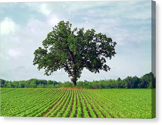 Spring Trees Canvas Print - Standing Guard by Todd Klassy