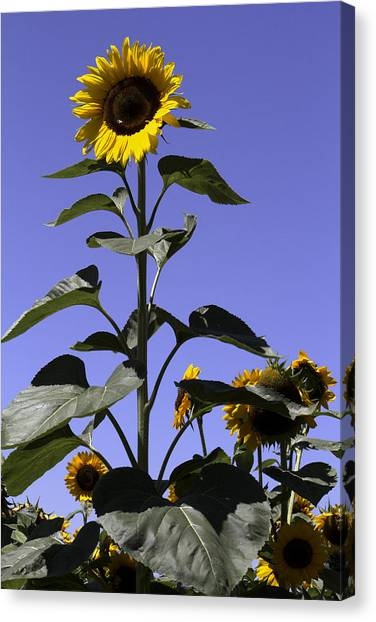 Standing Tall Canvas Print by John Holloway