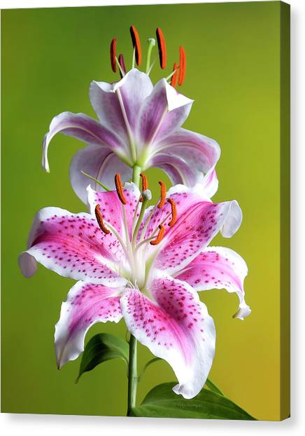 Star Gazer Lily Canvas Print
