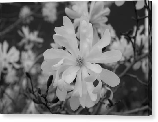 Star Magnolia Monochrome Canvas Print by Priyanka Ravi