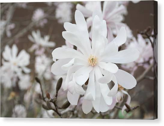 Star Magnolia Soft Canvas Print by Priyanka Ravi