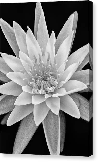 White Water Lily Canvas Print - Star Of The Water by Jeff Sinon