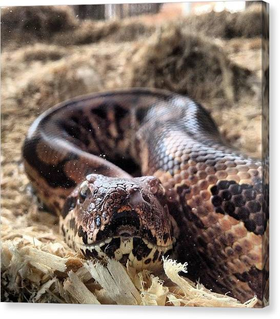 Pythons Canvas Print - Staring Contest #dumeril #python #snake by Jenni Pixl