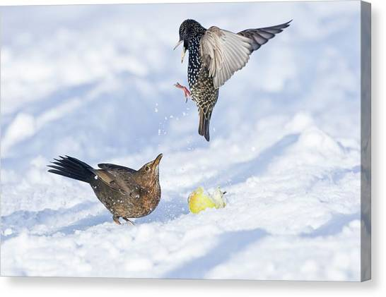Starlings Canvas Print - Starling And Blackbird In Snow by John Devries/science Photo Library