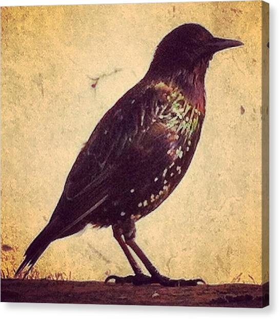 Starlings Canvas Print - Starling by Krstvr
