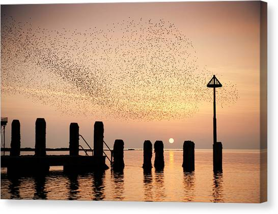 Starlings At Sunset  Aberystwyth Canvas Print