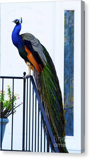 Stately Peacock Canvas Print