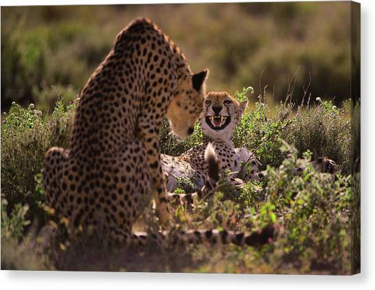 Cheetahs Canvas Print - Stay Away by Mohammed Alnaser