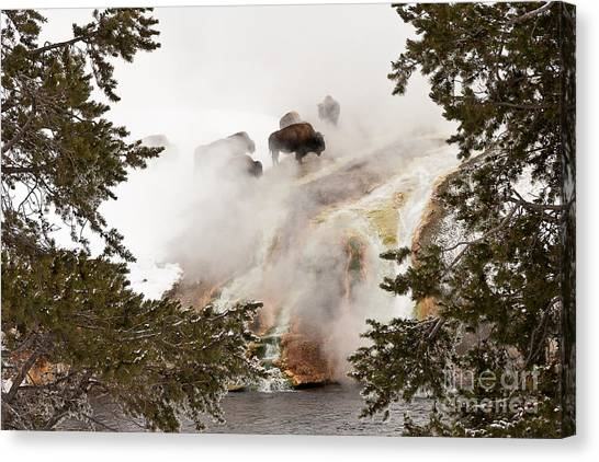 Steamy Bison Canvas Print