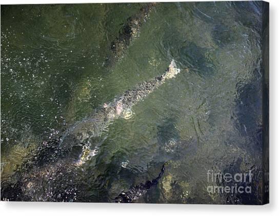 Steelhead Abstract 2 Canvas Print