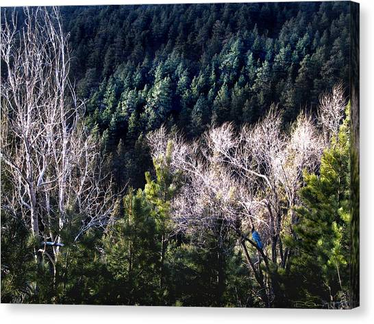 Steller's Jay Near Greyrock Mountain Colorado Canvas Print by Ric Soulen