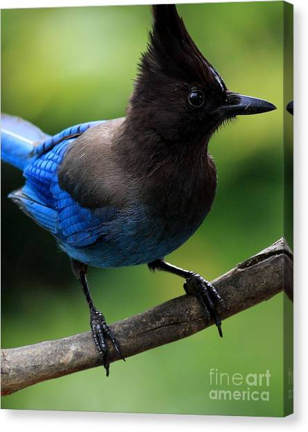 Stellar Canvas Print - Stellers Jay by Wingsdomain Art and Photography