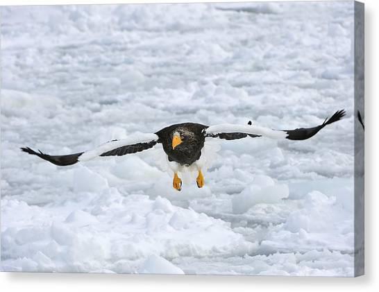 Eagle In Flight Canvas Print - Stellers Sea Eagle Flying Hokkaido Japan by Thomas Marent