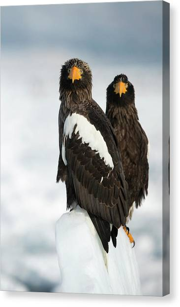 Accipitridae Canvas Print - Steller's Sea Eagles by Dr P. Marazzi