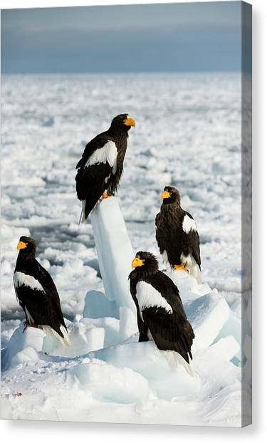 Behaviour Canvas Print - Steller's Sea Eagles On Sea Ice by Dr P. Marazzi