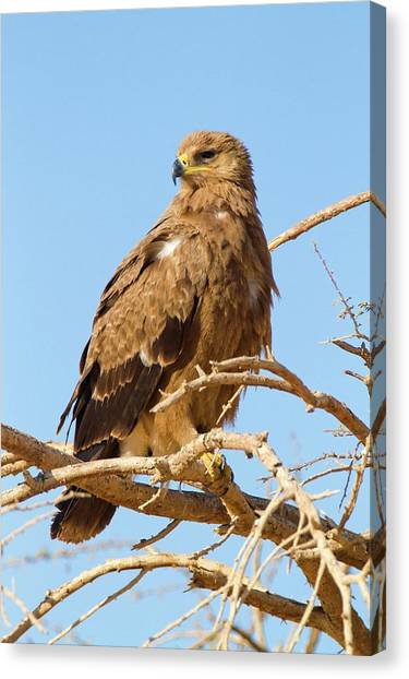 Negev Desert Canvas Print - Steppe Eagle (aquila Nipalensis) by Photostock-israel
