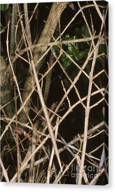 Monteverde Canvas Print - Stick Insect by Gregory G. Dimijian, M.D.