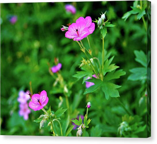 Boise National Forest Canvas Print - Sticky Geranium by Ed  Riche