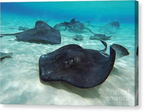Tiger Sharks Canvas Print - Stingrays by Carey Chen