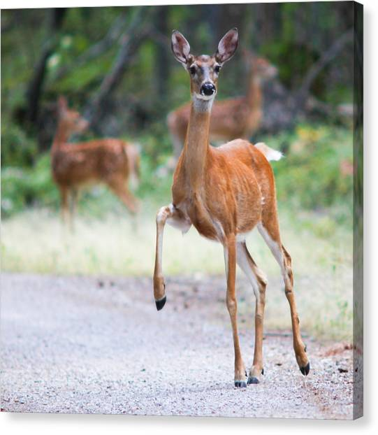 Deer Canvas Print - Stomp by Aaron Aldrich