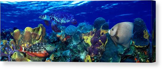Stoplights Canvas Print - Stoplight Parrotfish Sparisoma Viride by Panoramic Images
