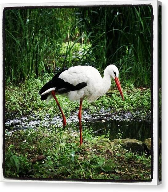 Storks Canvas Print - #stork #animal #bird #feathers #natural by Nicola  Young