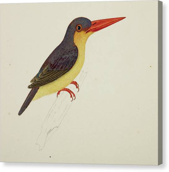 Kingfisher Canvas Print - Stork-billed Kingfisher by British Library