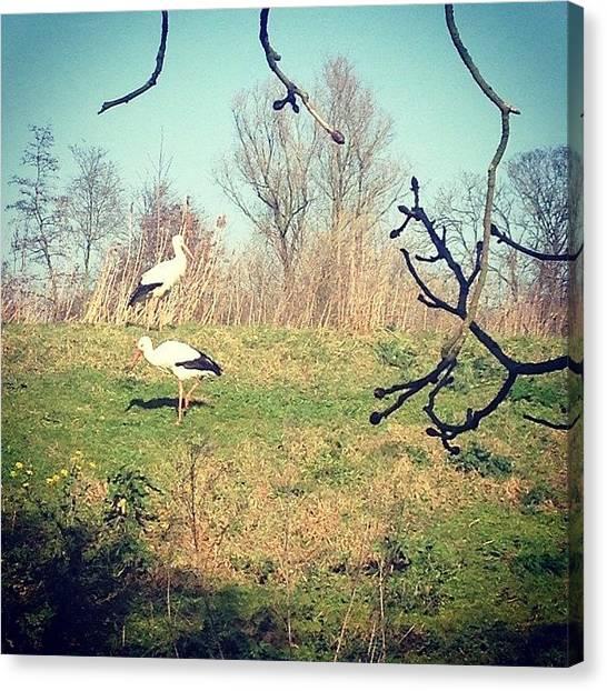 Storks Canvas Print - Storks In Vondelpark Are Celebrating by Ksenia Repina