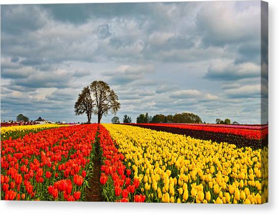 Storm Over Wooden Shoe Tulip Farm Canvas Print
