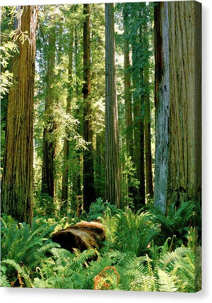Stout Grove Coastal Redwoods Canvas Print