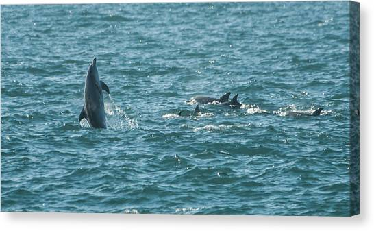 Bottlenose Dolphins Canvas Print - Straight Up by Alistair Lyne