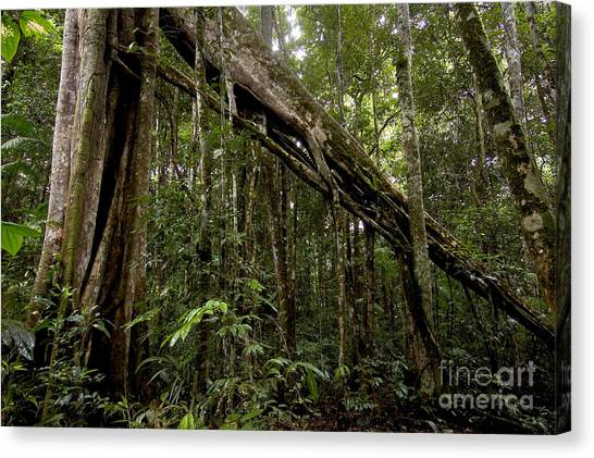Amazon Rainforest Canvas Print - Strangler Fig In Amazon Rainforest by Gregory G. Dimijian, M.D.