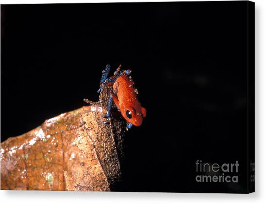 Costa Rican Canvas Print - Strawberry Poison Dart Frog by Mark Newman