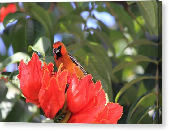 Blue Camo Canvas Print - Streak-backed Oriole by Shane Bechler