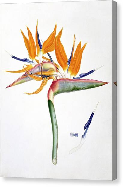 Canvas Print - Strelitzia Reginae Flowers by Natural History Museum, London
