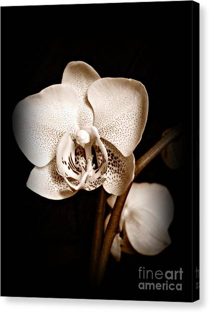 Strength And Beauty Sepia Canvas Print