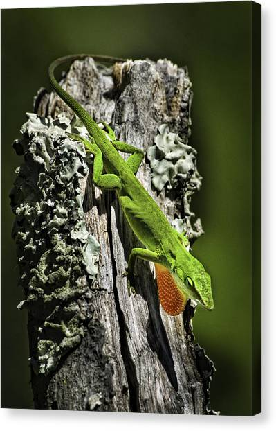 Stressed Anole Canvas Print