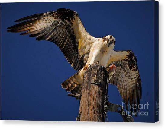 Osprey Canvas Print - Stretch by Quinn Sedam