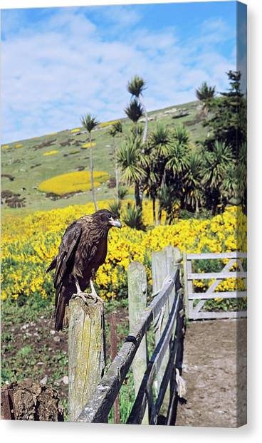 Albatross Canvas Print - Striated Caracara Or Johnny Rook by Martin Zwick