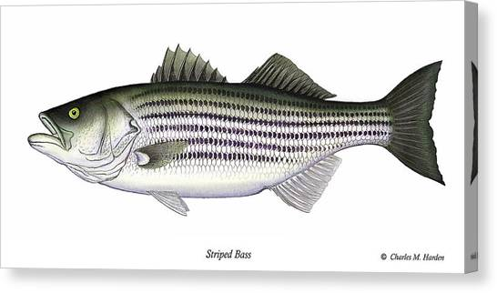Clams Canvas Print - Striped Bass by Charles Harden