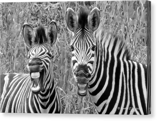 Striped Donkeys Zebra Chapman's Race Canvas Print by Jonathan Whichard