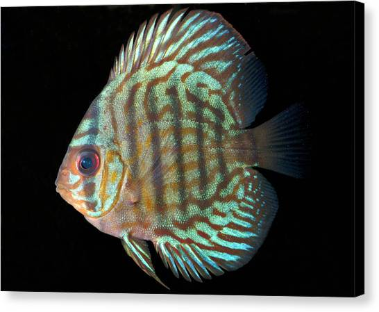 Striped Turquoise Discus Canvas Print by Nigel Downer