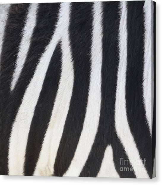 Canvas Print featuring the photograph Stripes On Zebra by Bryan Mullennix
