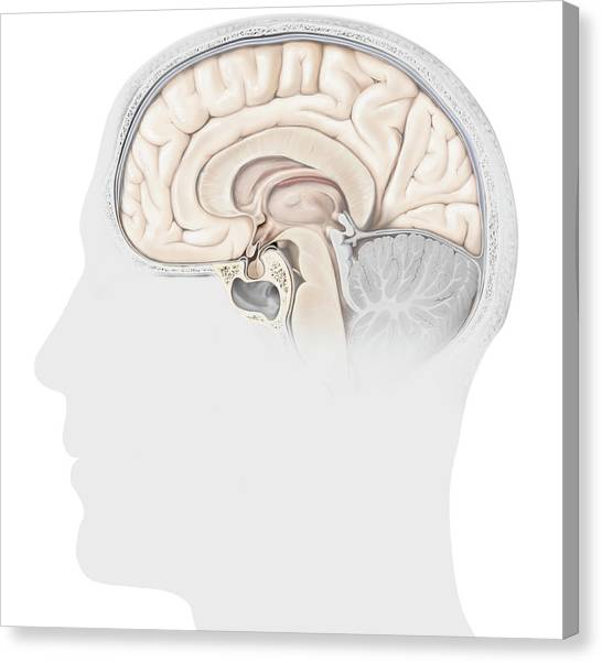 Pituitary Gland Canvas Prints Fine Art America