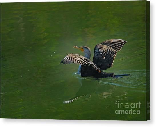 Strutting Cormorant Canvas Print