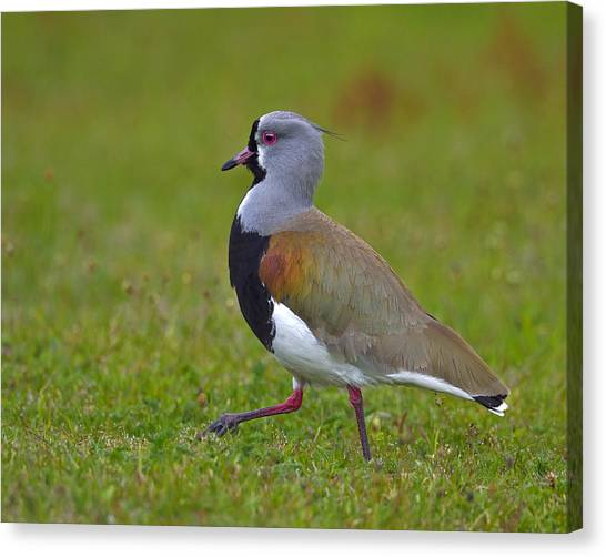 Lapwing Canvas Print - Strutting Lapwing by Tony Beck
