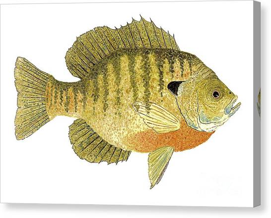 Study Of A Bluegill Sunfish Canvas Print