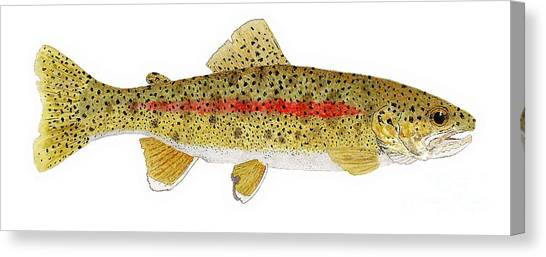 Study Of A Columbia River Erdband Trout Canvas Print