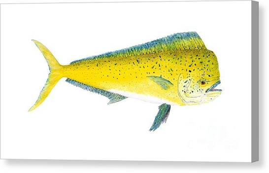 Study Of A Mahi Mahi Canvas Print